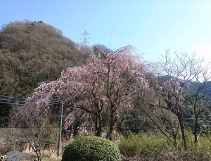不二ホテルの 枝垂れ桜